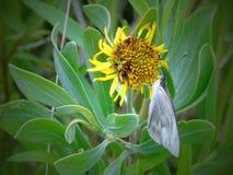 Vit fjäril på den gula växten Fotografering för Bildbyråer