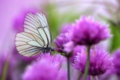 Vit fjäril på gräslökblommor Royaltyfri Fotografi