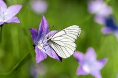 Vit fjäril på lavendelklocka i gräsplan Royaltyfri Foto