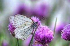 Vit fjäril på gräslökblommor Fotografering för Bildbyråer