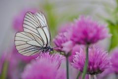Vit fjäril på gräslökblommor Royaltyfri Foto