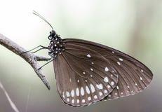 Vit fläckfjäril på filialen arkivbild