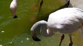 Vit flamingo Arkivfoton