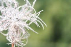 Vit fluffig alpin blomma Arkivfoto