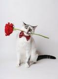 Vit fluffig blåögd katt i en stilfull fluga på en ljus bakgrund som rymmer en röd ros i hans tänder Arkivfoto