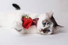 Vit fluffig blåögd katt i en stilfull fluga som ligger och rymmer en röd ros i armar Siden- röd fluga med en modell Royaltyfri Bild