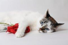 Vit fluffig blåögd katt som ligger på ljust bakgrund och innehav en röd ros i armar Arkivfoton