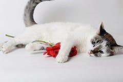 Vit fluffig blåögd katt som ligger på ljust bakgrund och innehav en röd ros i armar Arkivbilder