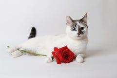 Vit fluffig blåögd katt som ligger på ljust bakgrund och innehav en röd ros i armar Arkivfoto