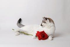 Vit fluffig blåögd katt som ligger på ljust bakgrund och innehav en röd ros i armar Royaltyfria Bilder