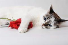 Vit fluffig blåögd katt som ligger på ljust bakgrund och innehav en röd ros i armar Royaltyfria Foton