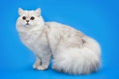 Vit fluffig härlig katt på studiobakgrund Royaltyfri Bild