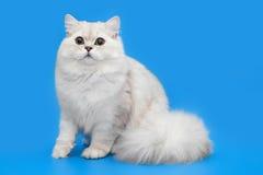 Vit fluffig härlig katt på studiobakgrund Royaltyfri Fotografi