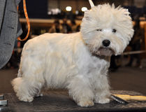 Vit fluffig hund Bichon Frise royaltyfria bilder