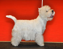 Vit fluffig hund Bichon Frise royaltyfria foton