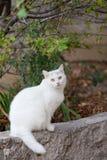 Vit fluffig katt Royaltyfria Bilder