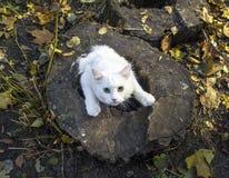 Vit fluffig katt Fotografering för Bildbyråer
