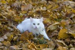 Vit fluffig katt arkivbilder