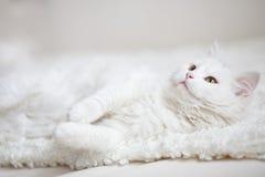 Vit fluffig katt som ligger på den vita lagledaren Arkivbild