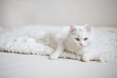 Vit fluffig katt som ligger på den vita lagledaren Royaltyfri Foto