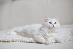 Vit fluffig katt som ligger på den vita lagledaren Royaltyfri Fotografi