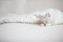 Vit fluffig katt som ligger på den vita lagledaren Arkivfoton