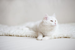 Vit fluffig katt som ligger på den vita lagledaren Fotografering för Bildbyråer