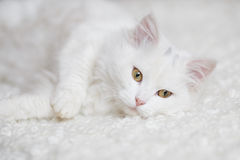 Vit fluffig katt som ligger på den vita lagledaren arkivfoto