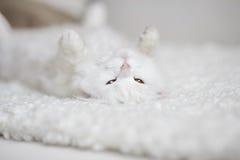 Vit fluffig katt som ligger på den vita lagledaren arkivbilder