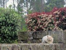 Vit fluffig katt som sitter på stenstaketet i trädgård med rosa blommande blommor som ser kameran med blåa ögon arkivfoton