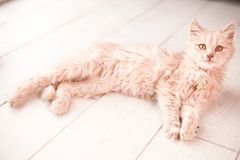 Vit fluffig liten kattlögn på det ljusa golvet royaltyfria bilder