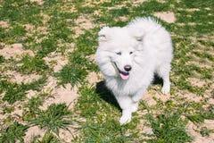 Vit fluffig Samoyedhund på gatan mot bakgrunden av grönt gräs Samoyedhunden för går i sommaren royaltyfria foton
