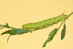 Vit-fodrad larv för sfinxmal Royaltyfri Fotografi