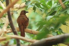 Vit-fodrad tanager Royaltyfria Foton