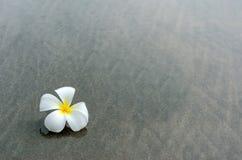 Vit frangipani Arkivfoto