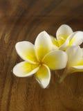 Vit frangipani Royaltyfria Bilder