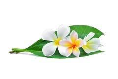 Vit frangipani eller tropiska blommor för plumeria Royaltyfri Fotografi