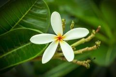 Vit frangipani på träd Fotografering för Bildbyråer