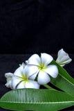 Vit frangipani som isoleras på svart bakgrund Arkivbild