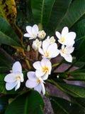 Vit Frangipaniblomma i Bali arkivfoton
