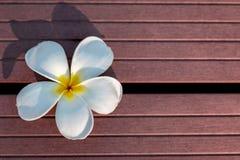 Vit Frangipaniblomma i trätexturbakgrund arkivfoto