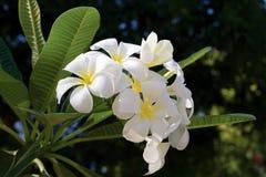 Vit frangipaniPlumeria på träd Royaltyfri Bild