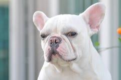 Vit fransk tjurhund Royaltyfria Bilder