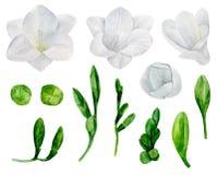 Vit freesia blommar vektorn royaltyfri illustrationer