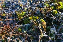 Vit frost på häcken och gräsplanmossa Royaltyfria Bilder