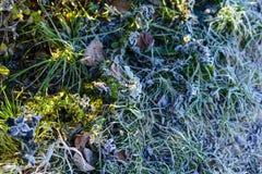 Vit frost på häcken och gräsplanmossa Arkivbilder