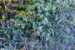 Vit frost på häcken och gräsplanmossa Royaltyfri Foto
