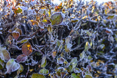 Vit frost på häcken och gräsplanmossa Royaltyfria Foton