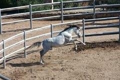 Vit fullblods- arabisk häst Royaltyfria Bilder