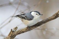 Vit-gången mot nuthatch på ett träd i vintersäsongen i Kanada Arkivbild